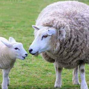 گوسفند زندهمراسم ترحیم